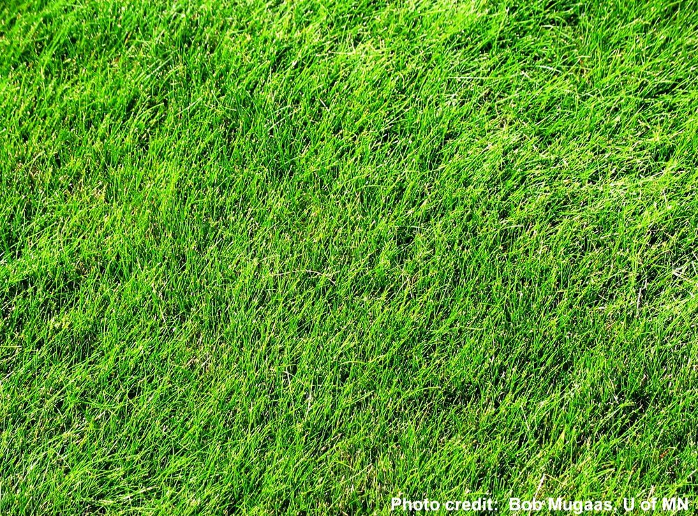 Fine Fescue (image via extension.umn.edu)