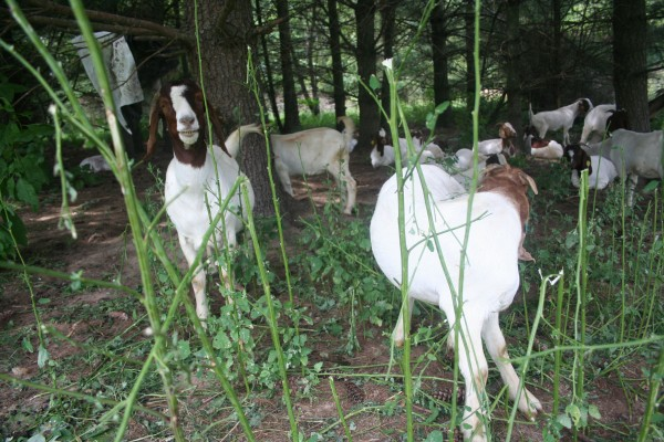 Goats enjoying some invasive plants (courtesy of modernfarmer.com)