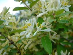 Morrow's honeysuckle (wikimedia.org).