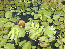 Giant Salvinia.