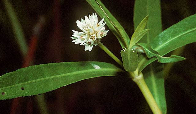 Alligatorweed (Alternanthera philoxeroides). Credit: Public Domain, wikimedia.org