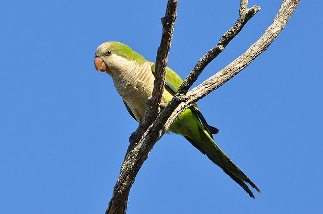 A Monk Parakeet. Formerly banned in New Hampshire, advocates of the species proved it could not survive the state's winter, making it unlikely to establish itself. It now resides on the state's list of acceptable species. Image credit: Cláudio Dias Timm, wikimedia.org