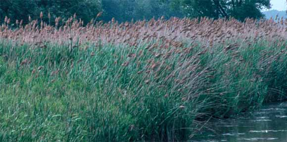 A large stand of phragmites. Image credit: invasiveplants.net