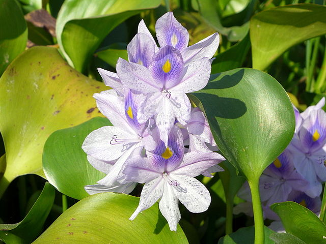 Water hyacinth ( ichhornia crassipes).  Credit: Wing1990hk - Own work, Wikimedia.org