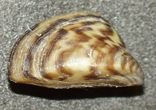 A close-up of a zebra mussel, bearing a pattern typical of the species. Credit: Public Domain, https://commons.wikimedia.org/w/index.php?curid=352698