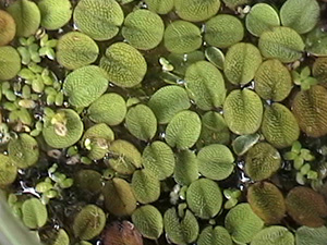Duckweed - Description, Range and Treatments.